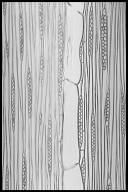 MELIACEAE Turraeanthus africanus