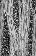 PLATANACEAE Platanus X acerifolia
