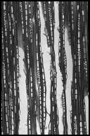 RUBIACEAE Adina cordifolia