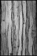 SALICACEAE Populus deltoides