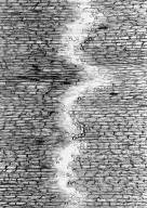 CELASTRACEAE Anthodon decussatum