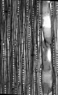 CELASTRACEAE Salacia cerasifera