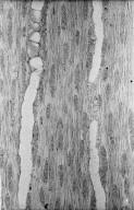 MORACEAE Broussonetia papyrifera