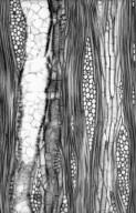 MORACEAE Maclura tricuspidata