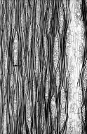 MORACEAE Parartocarpus SP.