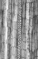 LEGUMINOSAE PAPILIONOIDEAE Clitoria leptostachya
