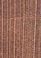 SAPINDACEAE Acer platanoides