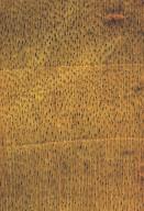 BETULACEAE Betula nigra
