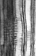 CELASTRACEAE Euonymus japonicus