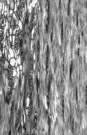 LEGUMINOSAE CAESALPINIOIDEAE Erythrophleum africanum