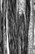 LEGUMINOSAE CAESALPINIOIDEAE Haematoxylum campechianum