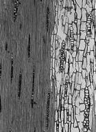 LEGUMINOSAE CAESALPINIOIDEAE Recordoxylon speciosum