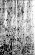 ERICACEAE Cassiope tetragona