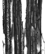 EUPHORBIACEAE Acalypha diversifolia