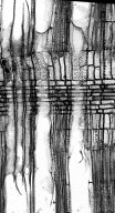 EUPHORBIACEAE Glycydendron amazonicum