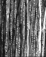 PHYLLANTHACEAE Savia sessiliflora