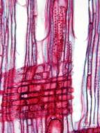FAGACEAE Castanopsis fordii