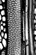 ACHARIACEAE Scottellia kamerunensis