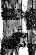 CALOPHYLLACEAE Mahurea exstipulata