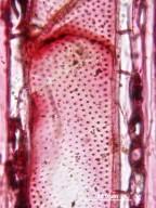 JUGLANDACEAE Engelhardia roxburghiana