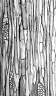 LOGANIACEAE Geniostoma macrophyllum
