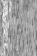 LEGUMINOSAE MIMOSOIDEAE Archidendron bigeminum