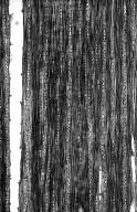 MELASTOMATACEAE Topobea membranacea