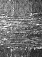 MORACEAE Brosimum parinarioides