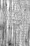 ROSACEAE Dryas integrifolia