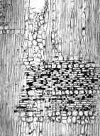 RUBIACEAE Henriquezia verticillata