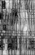 SALICACEAE Salix glauca
