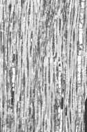 ACANTHACEAE Graptophyllum excelsum