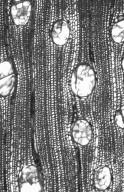 ANACARDIACEAE Astronium graveolens