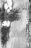 ANACARDIACEAE Buchanania arborescens