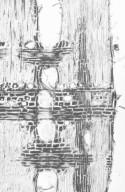 ANACARDIACEAE Pleiogynium timoriense