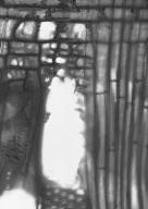 ANACARDIACEAE Rhodosphaera rhodanthema