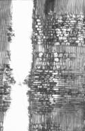 ANACARDIACEAE Swintonia floribunda