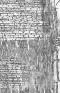 ANNONACEAE Alphonsea arborea