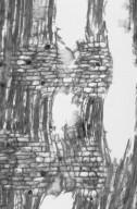 ANNONACEAE Annona senegalensis