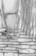 ANNONACEAE Duguetia vallicola