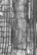 ANNONACEAE Goniothalamus aruensis