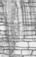 ANNONACEAE Polyalthia australis