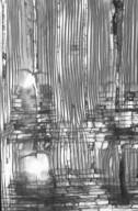 ANNONACEAE Maasia hypoleuca