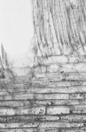 ANNONACEAE Polyalthia oblongifolia