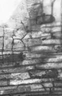 ANNONACEAE Rollinia macrosepala