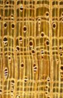 MALVACEAE STERCULIOIDEAE Heritiera actinophylla