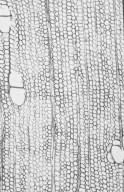 APOCYNACEAE Alstonia spatulata