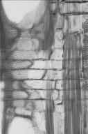 APOCYNACEAE Alstonia spectabilis