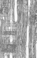 APOCYNACEAE Hunteria zeylanica