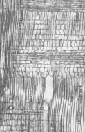 APOCYNACEAE Kibatalia arborea